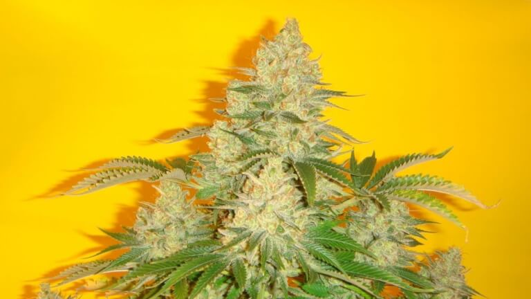Blue Iguana by Mosca Seeds