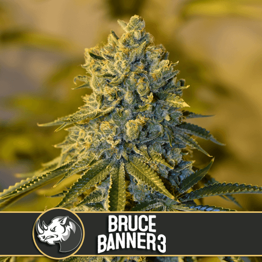 Bruce Banner #3 by Blimburn Seeds