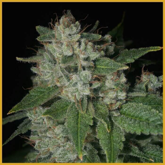 Graines de cannabis r guli res casper og de archive seeds for Og kush exterieur