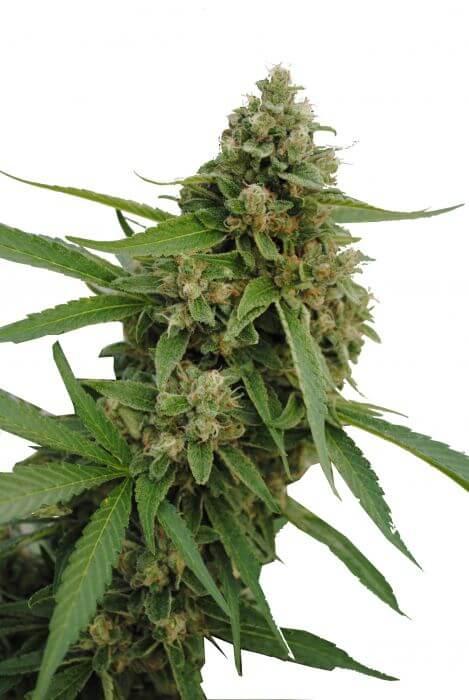 bubba kush autoflowering cannabis seeds