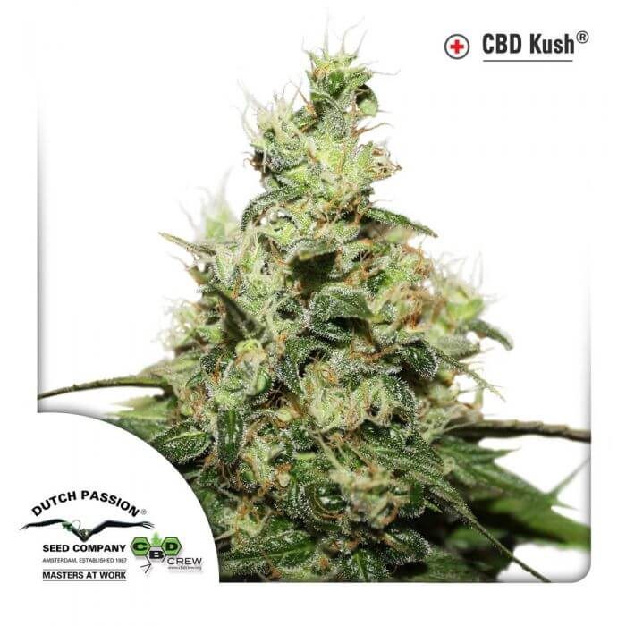 Vente de cbd kush de dutch passion for Achat plante pas cher