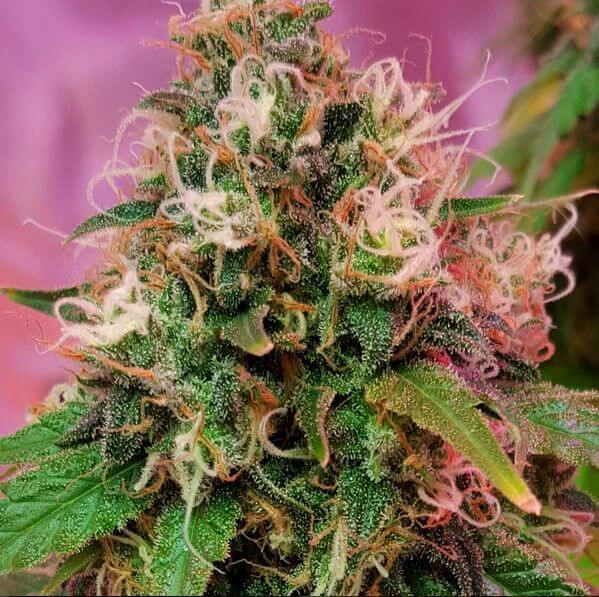 Vente de graines de cannabis f minis es cbd og kush de cbd for Og kush exterieur