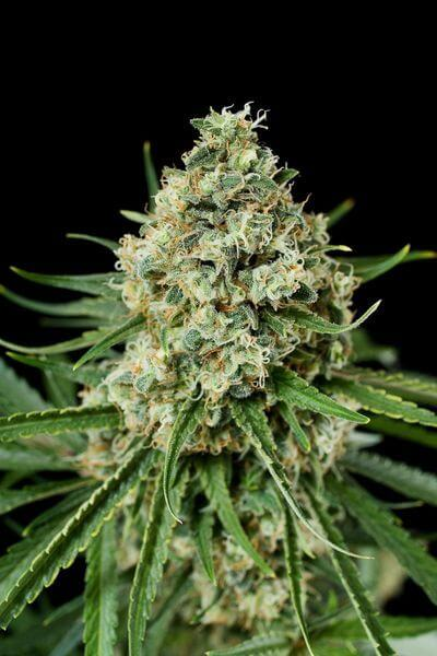 Vente de critical 2 0 de dinafem for Skunk interieur