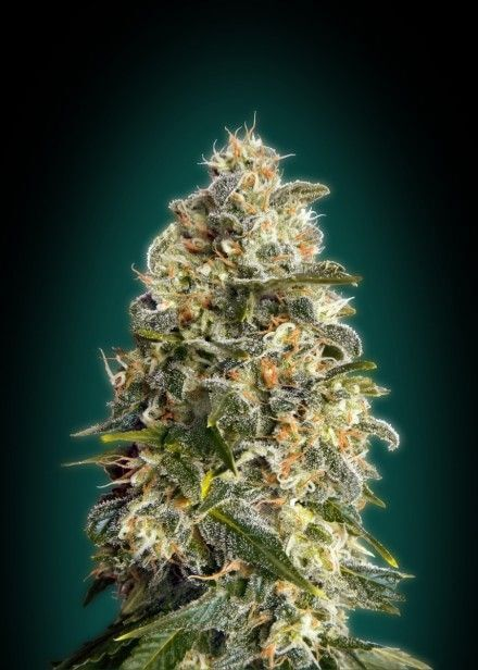 Heavy Bud by Advanced Seeds