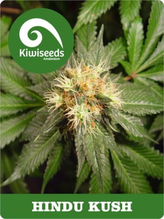 Vente de hindu kush f minis e de kiwi seeds for Afghan kush exterieur