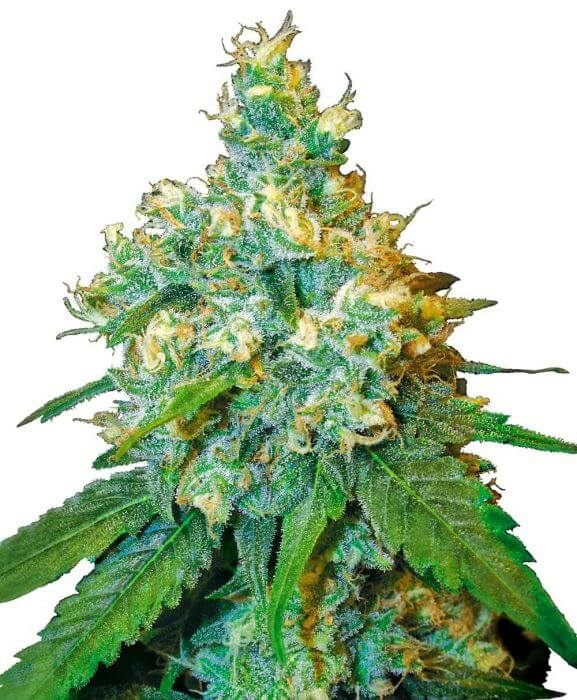 Sale of Northern Lights # 5 x Haze Seeds from Sensi Seeds