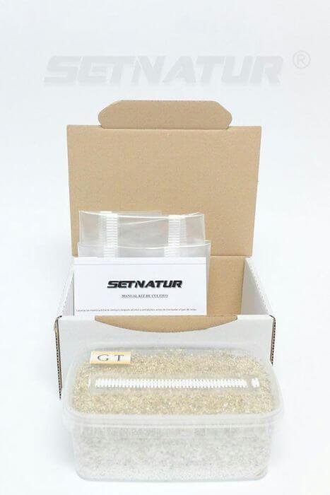 Golden Teacher mushroom growing kit - Setnatur