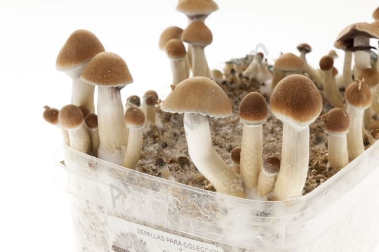 "Sale of Sporemate Panaeolus Cyanescens ""Goliath"" spores vial"