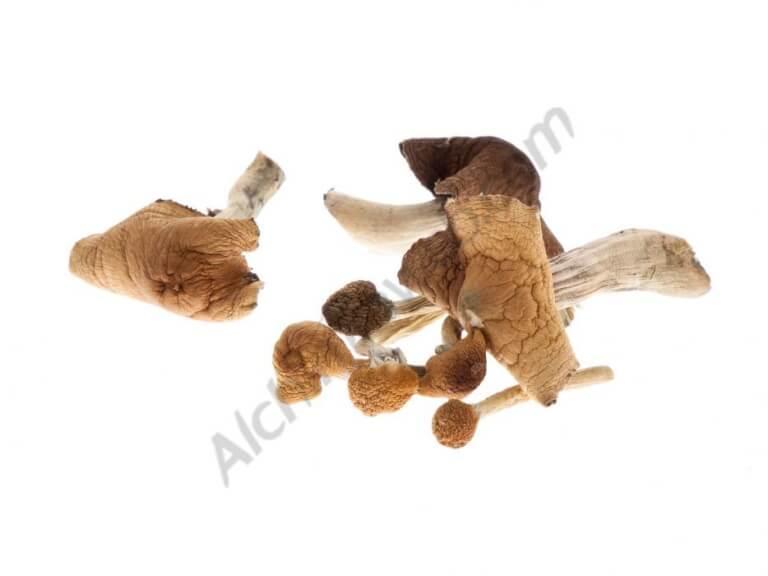 McKennaii mushroom growing kit - Setnatur