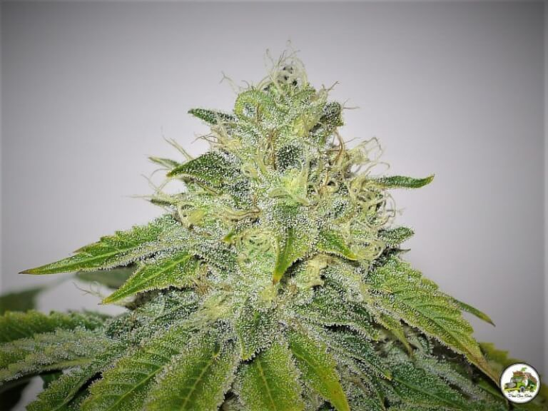 Kush And Cheese by Paisa Grow Seeds