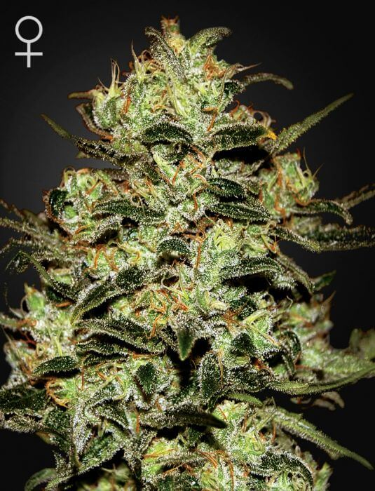 Moby Dick - Green House Seeds