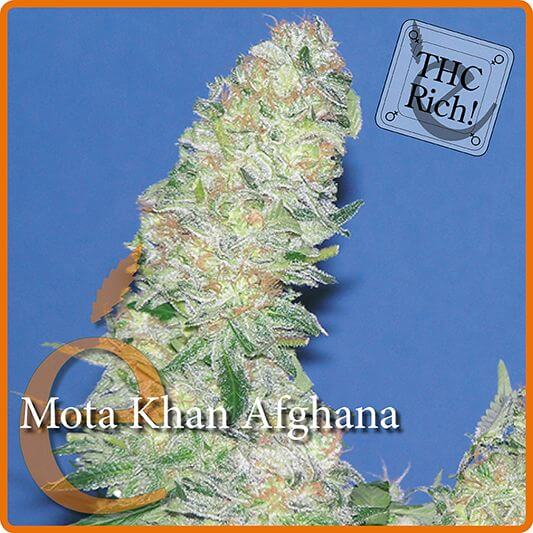 Mota Khan Afghana - Elite Seeds