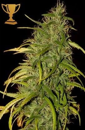 Mr Weed Mass by Mr Hide Seeds