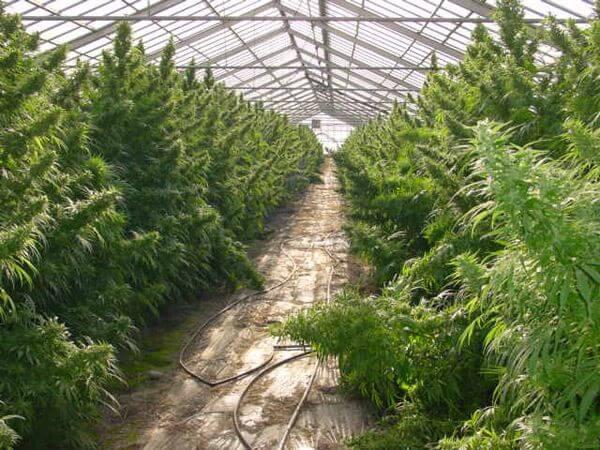 Nevilleu0026#39;s Haze - graines de cannabis
