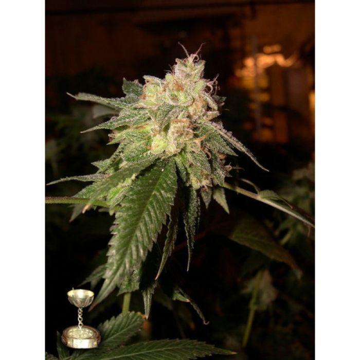 Vente de graines de cannabis f minis es d 39 og kush de for Og kush exterieur