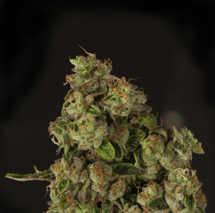 Vente de graines de cannabis r guli res og reek n de the for Og kush exterieur