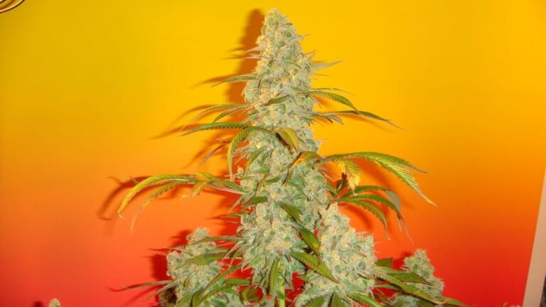 Old Time Bubba Kush by Mosca Seeds