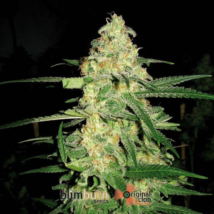 original clon de blimburn seeds