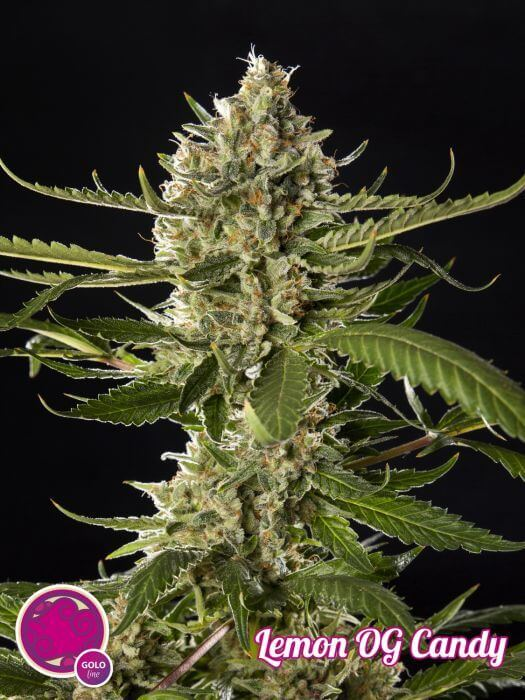 PHILO Lemon Og Candy Fem 4 llavors