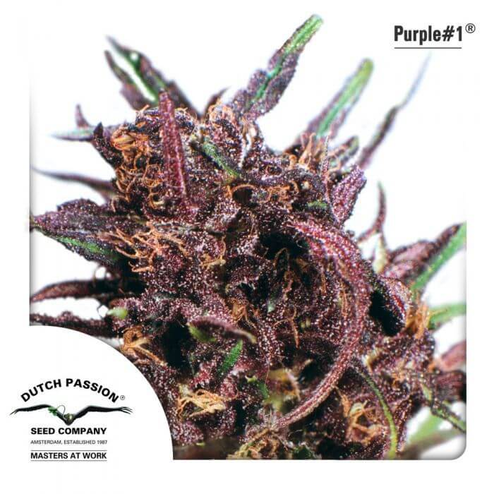 Purple #1 - Regular