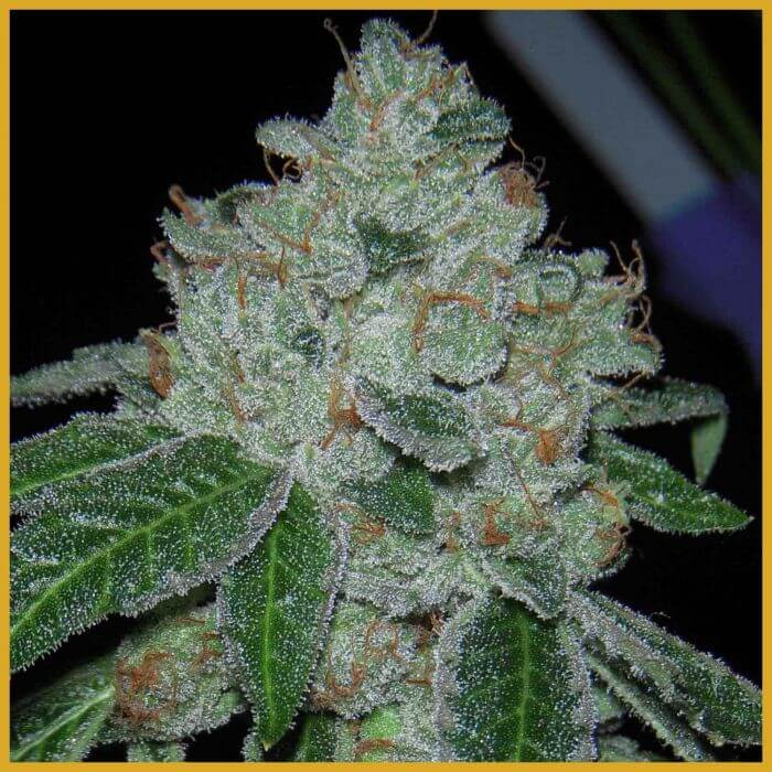 Rocket Fuel by Archive Seeds