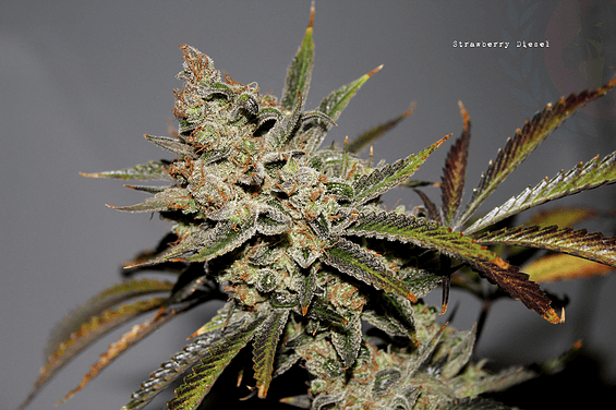 Strawberry Diesel F2