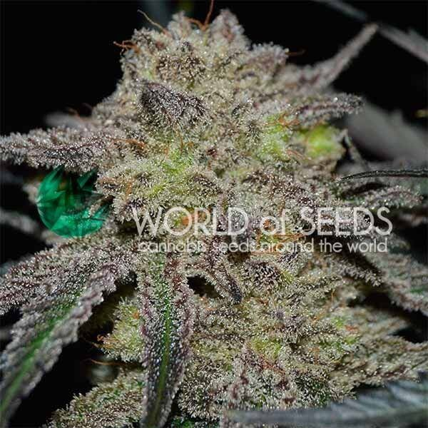 Tonic Ryder by World of Seeds