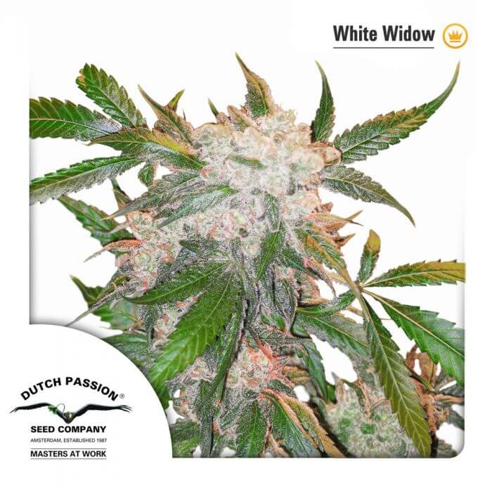 White Widow feminitzada Dutch P.