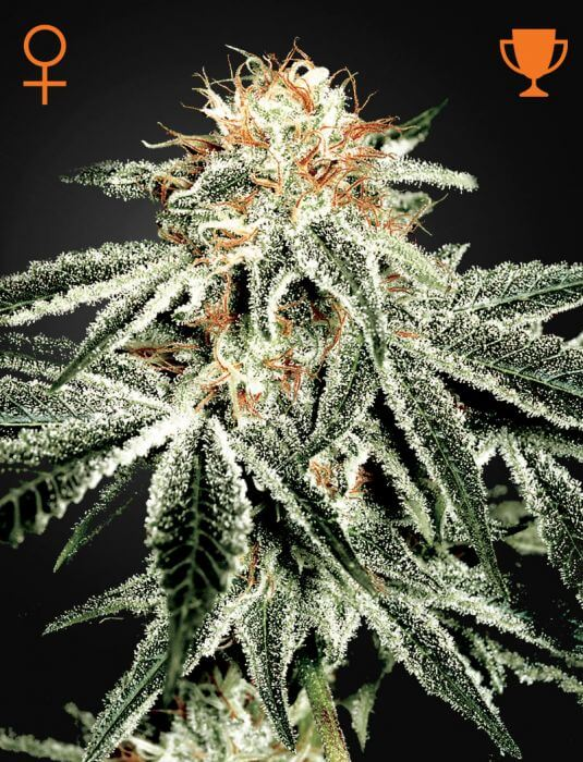 sale of white widow seeds from green house seeds