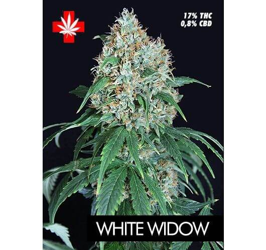 White Widow Pure Seeds