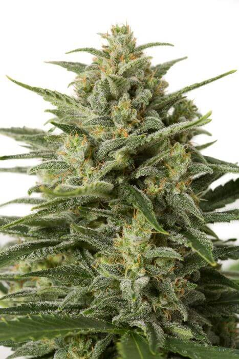 vente de graines white widow xxl auto par dinafem seeds. Black Bedroom Furniture Sets. Home Design Ideas