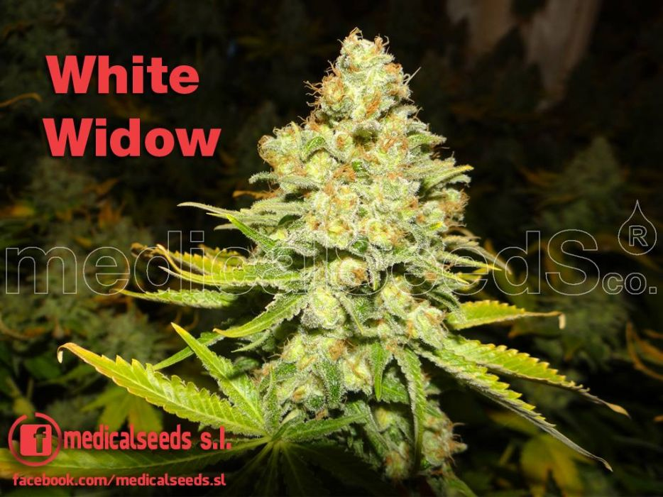 White widow from medical seeds for Cannabis floraison exterieur