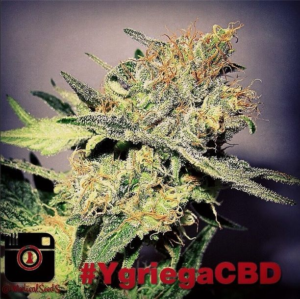 Vente de graines y griega cbd de medical seeds for Y griega exterieur