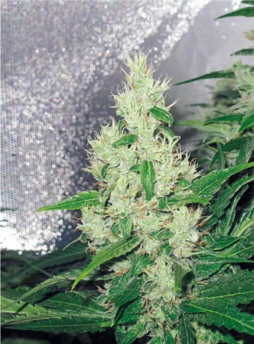vari t de cannabis la plus forte avec de thc